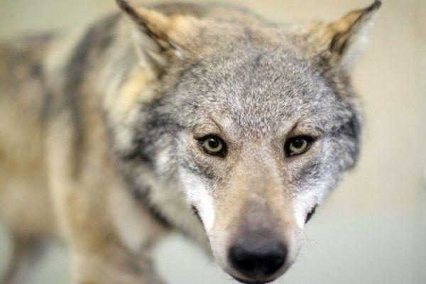 Trois loups ont été prélevés en trois jours dans les départements des Alpes du Sud.