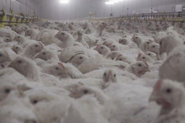 Une vidéo choc tournée dans un élevage intensif de volailles à Solignat, dans le Puy-de-Dôme par l'association L214 montre des animaux entassés souffrant de problèmes de santé.