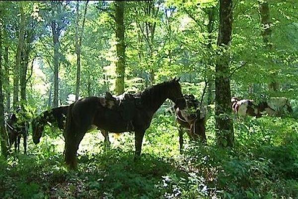 Voies du sel dans le Jura : chevaux à l'ombre sous les arbres