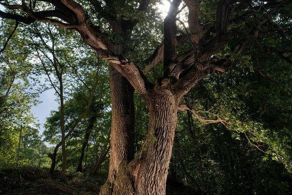 Avec une envergure de 18 mètres, le chêne de Zutkerque compte enchanter le jury de l'Arbre de l'année.