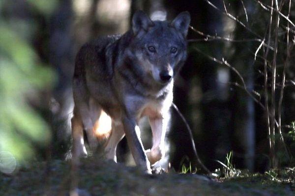 Loup dans le parc du Mercantour (Archives)
