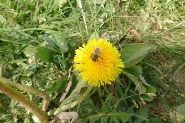 Plus personne pour déranger l'abeille qui butine