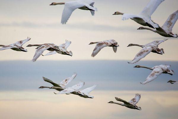 Vol de cygnes au-dessus de la réserve naturelle du Danube