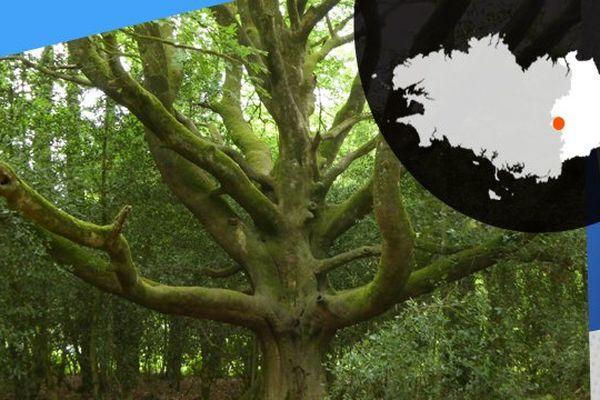 Le chêne des Hindrés à Brocéliande