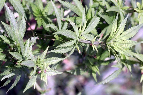 L'addiction au cannabis touche 1 million de personnes en France