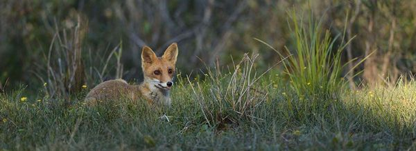 Le renard - Photographie Emmanuelle Roger