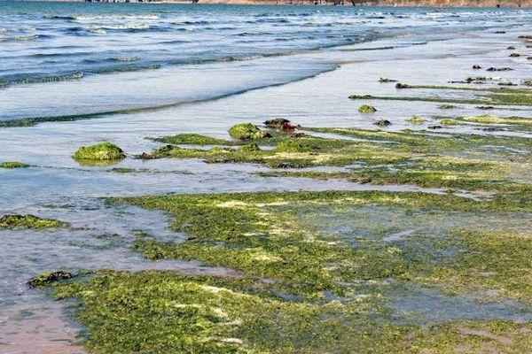 Algues vertes à Plonévez-Porzay en 2010