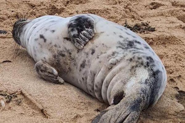 A la recherche de nourriture, les jeunes phoques sont souvent observés au large de nos côtes en cette saison. Certains sont fatigués voire malades.