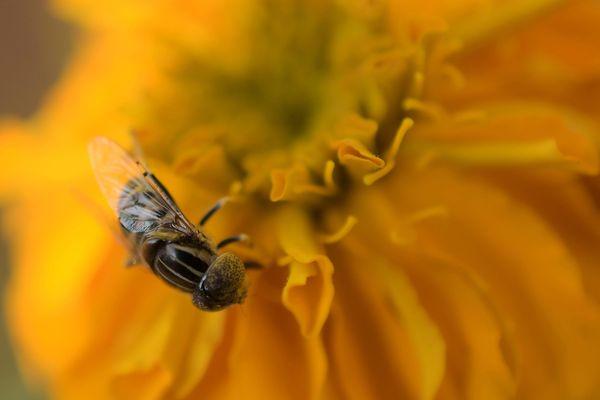 Les mauvaises conditions météo de l'hiver et du printemps ont impacté cette année la nourriture des abeilles. Et donc la récolte de miel.