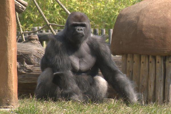 Les gorilles font partie des espèces autour desquelles les soigneurs prennent des précautions particulières