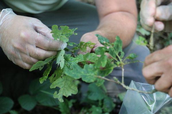 Les chenilles se développent dans les arbres des forêts et des parcs.