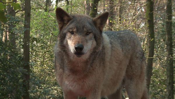 Le loup gris d'Europe, un animal fascinant à observer, une rencontre toujours singulière avec le roi de la forêt
