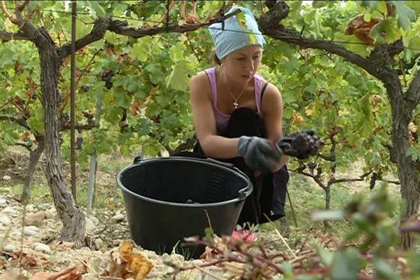 Les domaines de Bellet sont en train de récolter le fruit de leur travail.