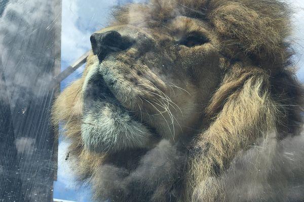 Jon le lion - juillet 2021