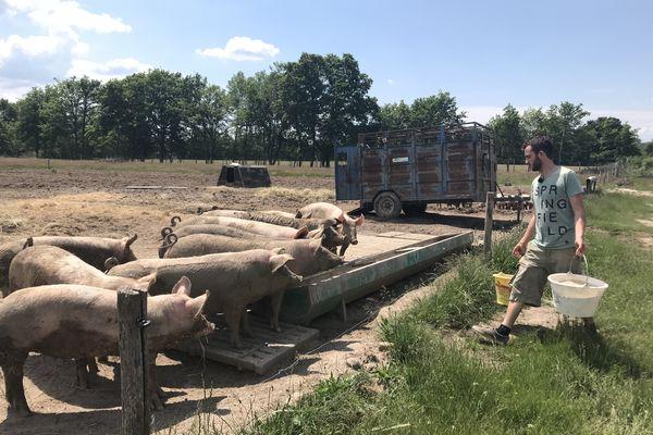 Baptiste Prognon vient nourrir ses cochons tous les matins à Nouan-le-Fuzelier en Sologne dans le Loir-et-Cher.