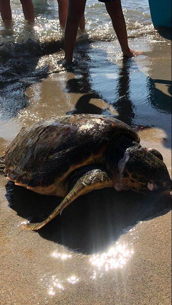Les échouages de tortues sur les plages sont des événements rares qui suscitent beaucoup d'interet et de questions. exemple ici à Martigues sur la plage de Sainte-Croix.