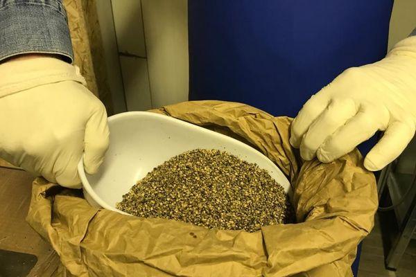 Les graines de chanvre vont pouvoir être pressées à froid et à cru sans perdre leurs qualités nutritives