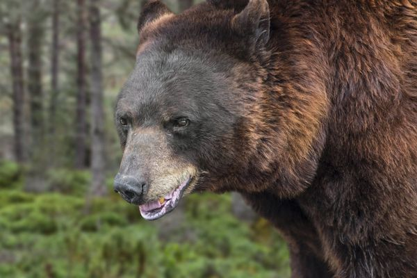 L'Etat français est mis en demeure de remplacer les trois ours tués dans les Pyrénées en 2020.