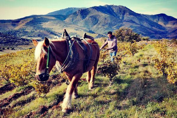 Julien Rollan, laboureur à cheval à Paulilles dans les Pyrénées-Orientales, sur le terroir escarpé des vins de Banyuls et Collioure - novembre 2019
