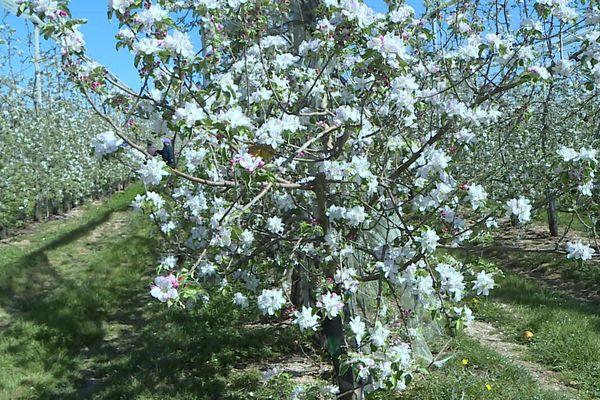 Les fruitiers tout en fleurs risquent de subir de plein fouet les gelées