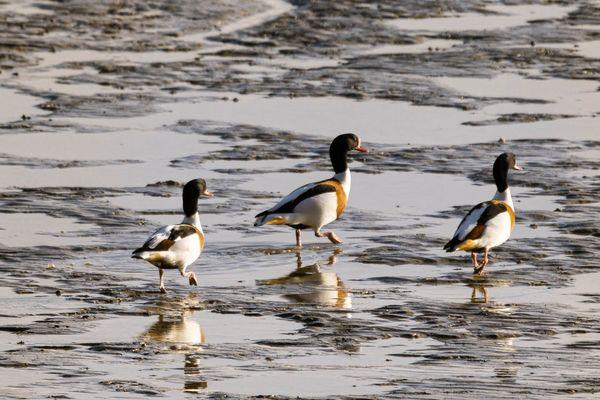 Trio de Canards Tadorne de Belon, en balade sur la plage.