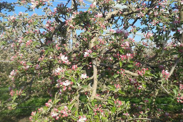 A Saudoy, dans la Marne, dans le Verger de l'Arly, les pommiers sont couverts de fleurs.
