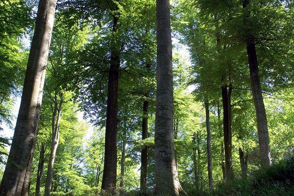 Le groupe Florian prévoit de produire annuellement 50.000 M3 de bois d'oeuvre de hêtre