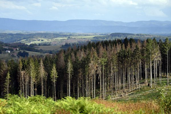 Une forêt d'épicéas touchés par la crise des scolytes dans le massif vosgien.