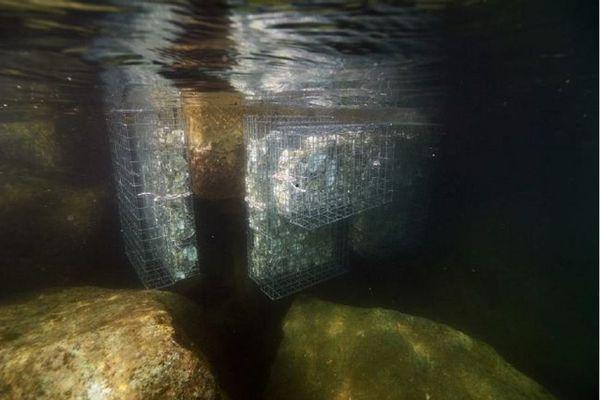 Des casiers remplis de coquilles sont immergés et servent d'abris aux petits pissons.