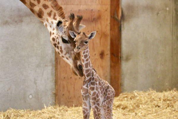 Le girafon est né vers 18h, dimanche 15 août. ©zoo de Champrépus