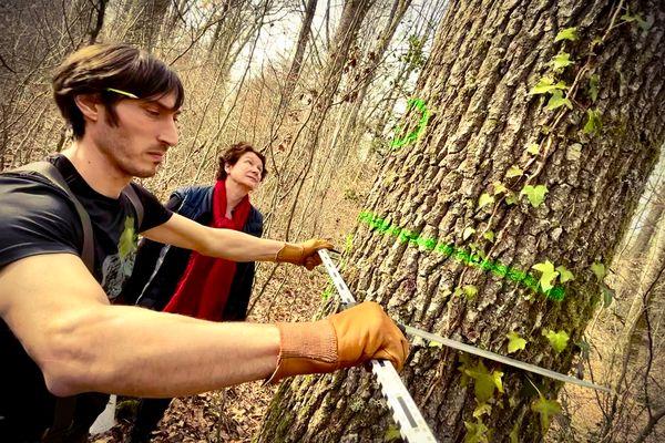 Les chênes qui serviront à la reconstruction de Notre-Dame sont minutieusement choisis.