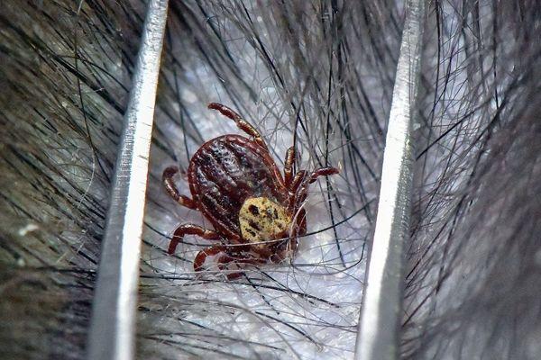 La piqûre d'une tique est à l'origine de la maladie de Lyme