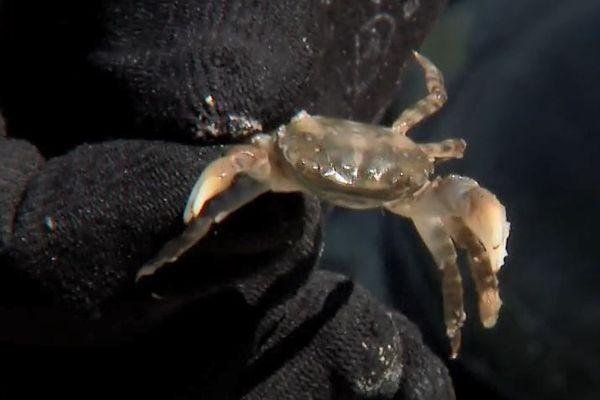 Cousin de notre crabe vert local, le crabe asiatique s'impose en Normandie, depuis son apparition, il y a une vingtaine d'années. Aujourd'hui, il représente un danger sans solution pour l'économie et l'écologie.