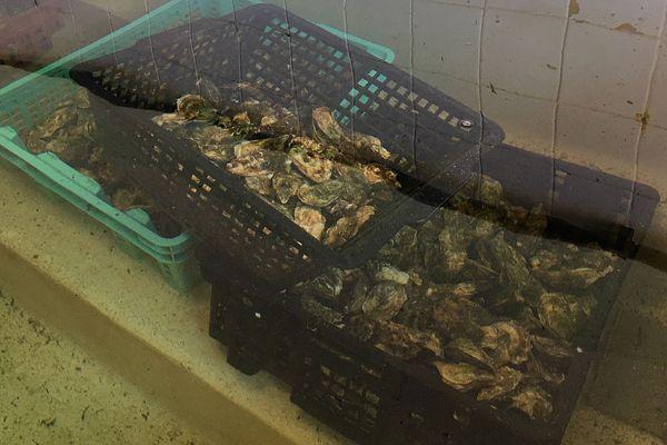 Mèze (Hérault) - les huîtres de la lagune de Thau trop grosses après le confinement - 22 mai 2020.
