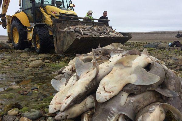 Les services de la mairie et des bénévoles ramasse les requins morts pris dans ce filet de 700 m de long au niveau du Sillon de Talbert