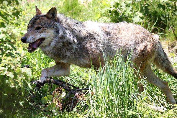 La population de loups continue d'augmenter en France.
