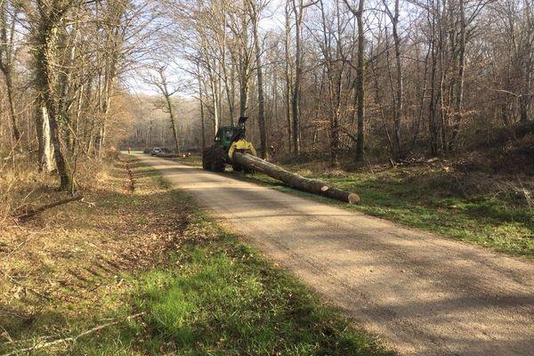 Des chênes sont ici  exploités par la coopérative Unisylva à Lichères-sur-Yonne, dans la forêt de M.Philippe de Chastellux