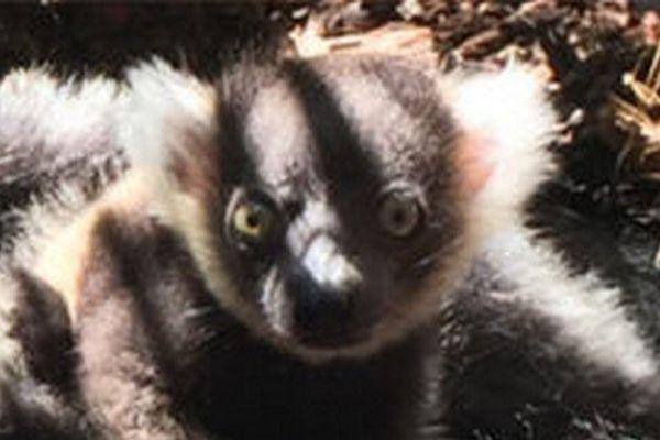 Le bébé lémurien né au Parc Phoenix à Nice.