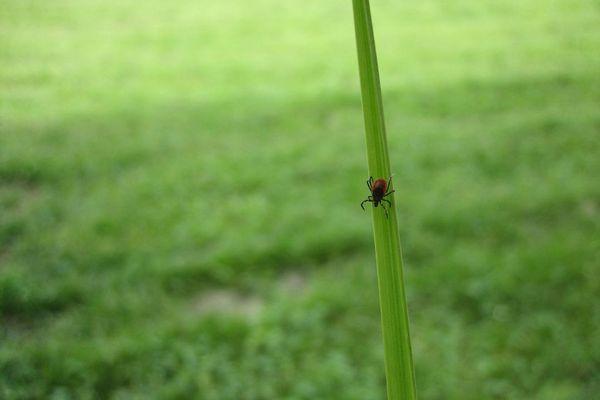 Une tique sur un brin d'herbe.