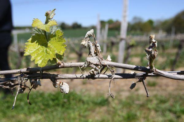 Après le long épisode de gel dans le vignoble de Nantes, la vignerons attendent de voir si les contre-bourgeons seront fertiles