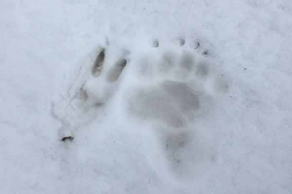 Empreinte de la patte de l'ours Rodri (probablement), prise le 17 mars sur la commune de Laruns en Béarn