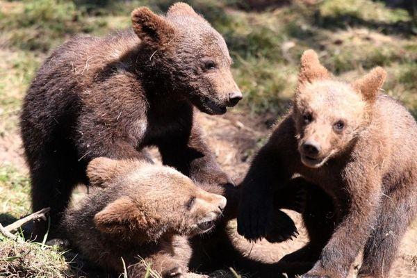 On estime à 50, le nombre d'ours dans les Pyrénées - Photo d'illustration