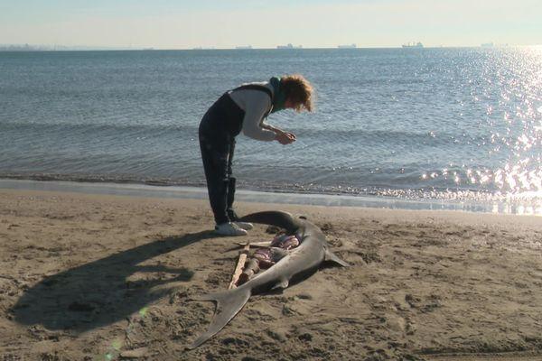 Photo du requin avant son voyage vers l'université