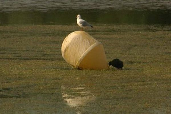 Cette algue a envahi le lac du Héron
