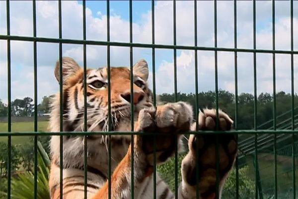 Ce tigre et tous les animaux du zoo des 3 vallées, à Montredon-Labessonnié dans le Tarn seront transférés ailleurs.