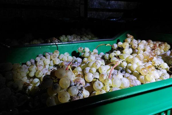 Le raisin est récolté gelé puis pressé immédiatement sur place