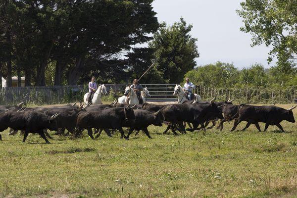 Gard - Une manade avec des guardians en petite Camargue.