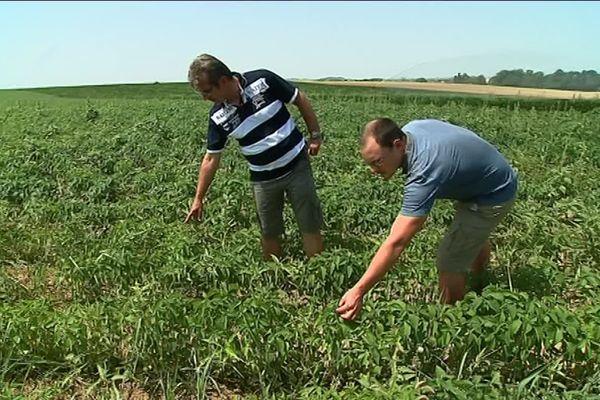 Depuis 3 ans la coopérative de Bio Qualisol àMonfort, dans le Gers, produit des graines de chia.