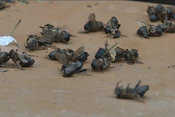 Cadavres d'abeilles dans un rucher de Razés en Haute-Vienne