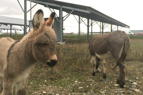 """Des ânes viennent faire le """"ménage"""" aux pieds des panneaux photovoltaïques de la centrale solaire d'Ungersheim"""